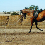 The Spanish Warmblood have such a good temperament and trainability that even kids can work with them.