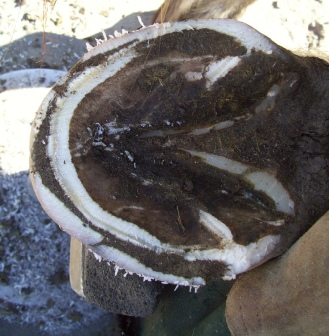 White Line Disease in a Horse Hoof